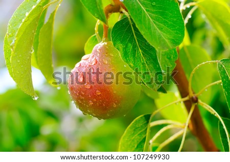 Pear on the tree - stock photo