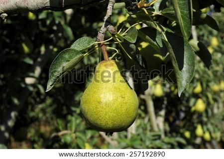 Pear, Pear tree - stock photo