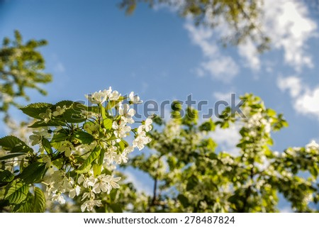 Pear tree blossom in spring - stock photo