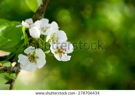 Pear tree blossoms in the spring garden. - stock photo