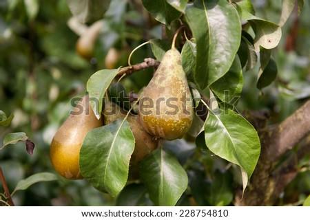 Pear tree fresh fruits cluster grow on twig and green lush foliage, photo taken in Poland, Europe, horizontal orientation, nobody.  - stock photo