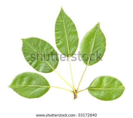 Pear Tree Leaves isolated