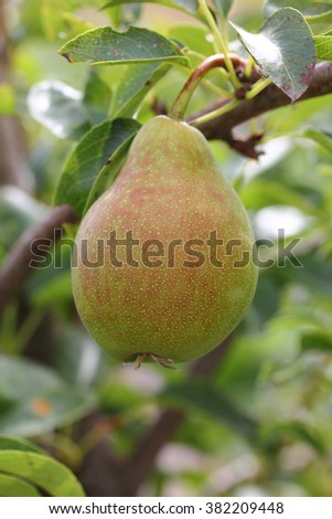 Pear tree with a ripe pear and green leaves
