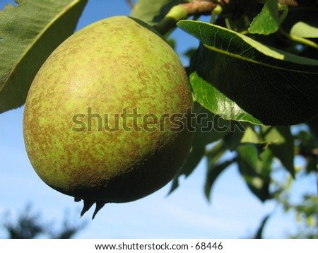 Pear tree with fruit.