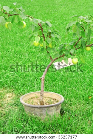 pear tree with price tag in the pot