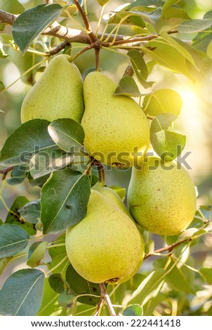 Pear trees laden with fruit in an orchard in the sun - stock photo
