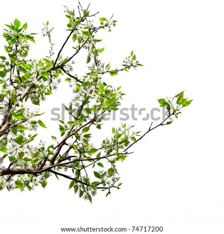 Pear white background, spring signals.