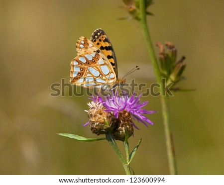 Pearl-bordered Fritillary on Common Knapweed