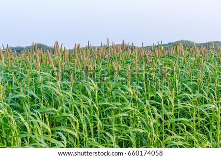 Pearl millet field