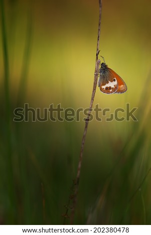 Pearly heath captured in the early morning - stock photo