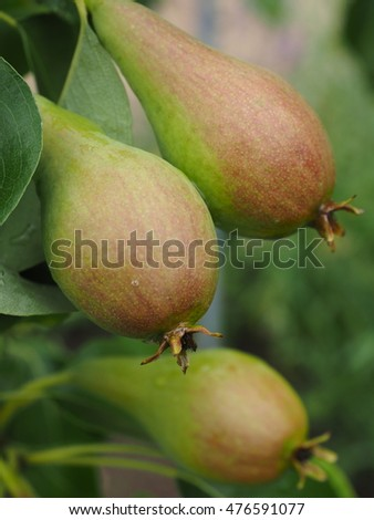 pears at the tree
