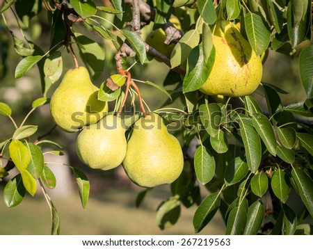 Pears growing on a tree in an orchard in Western Cape, South Africa.
