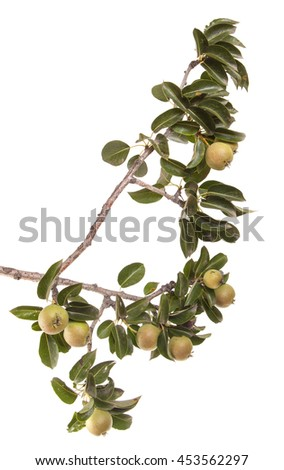 Pears on a branch with leaves isolated on white background