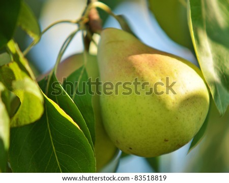 Pears on tree branch - stock photo