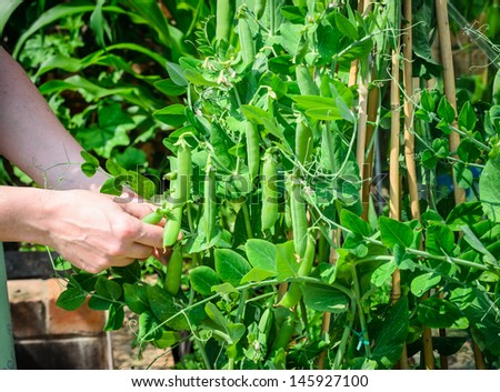 Peas being picked from a pea plant
