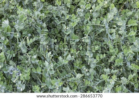 Peas growing in the garden background. Selective focus and shallow dof. - stock photo