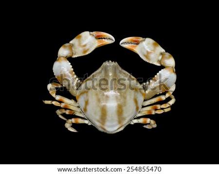 Pebble Crab on black background, ( Leucosia sp. ) - stock photo