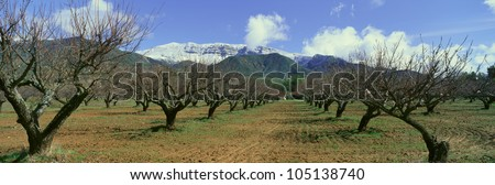 Pecan Trees, Ojai, California - stock photo
