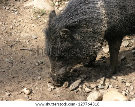 Peccary pig in Prague zoo.