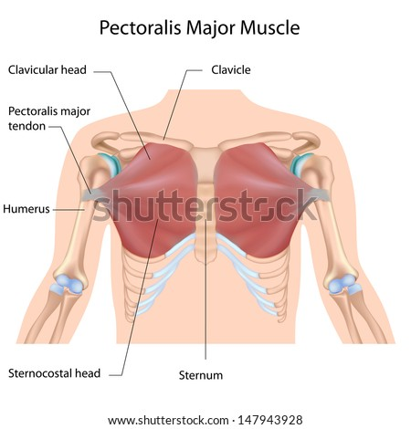 Pectoralis major muscle, labeled  - stock photo