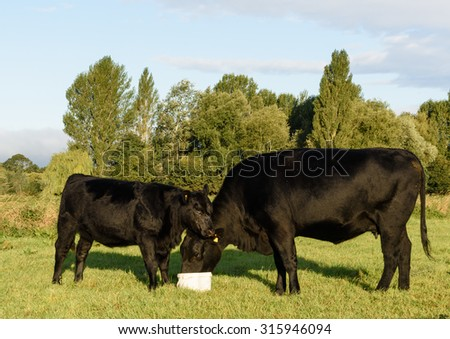 Pedigree black Aberdeen Angus mother & daughter feeding on the Somerset Levels - stock photo