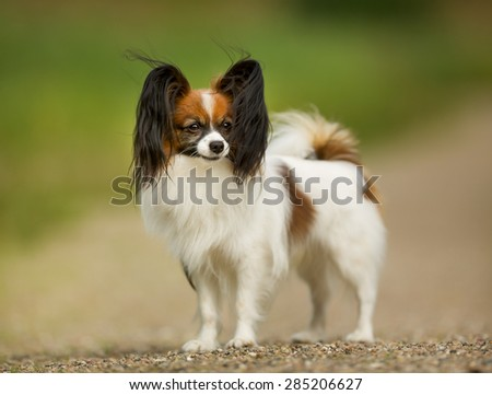 Pedigree continental toy spaniel on a sunny summer day.