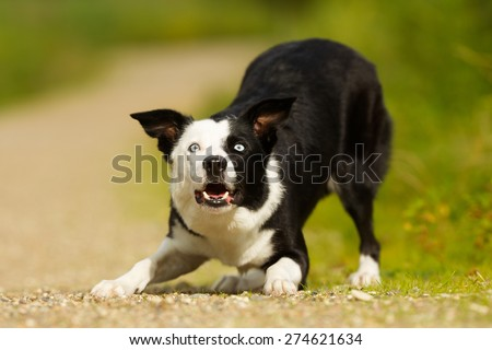 Pedigree dog outdoors on a sunny summer day. - stock photo