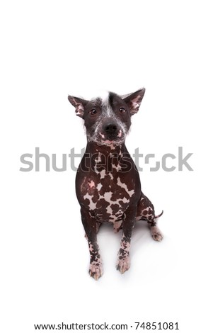 Pedigree Hairless Mexican Dog - stock photo