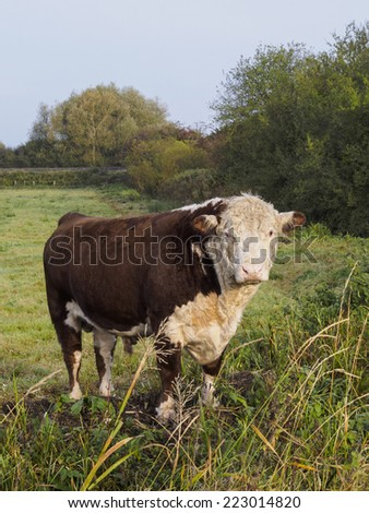 Pedigree Herefordshire bull in field on the Somerset Levels  - stock photo