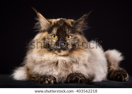 Pedigree Maine Coon cat photographed indoors in studio on black background.