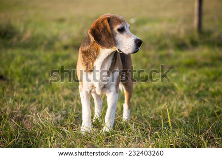 Pedigree proficient foxhound beagle on meadow. Beautiful purebred smart beagle hunting dog in summer pasture