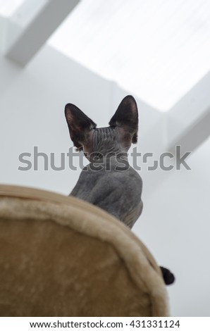 Pedigree Sphynx cat