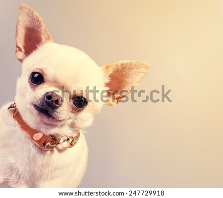 peeping out funny chihuahua dog in collar - stock photo
