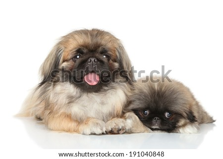 Pekinese mother with puppy lying on white background