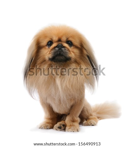 Pekingese dog in studio, sit isolated on white background