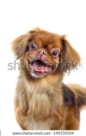 Pekingese dog portrait isolated on white background - stock photo