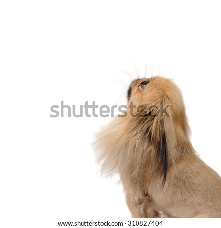 Pekingese dog sits stands, isolated on white background