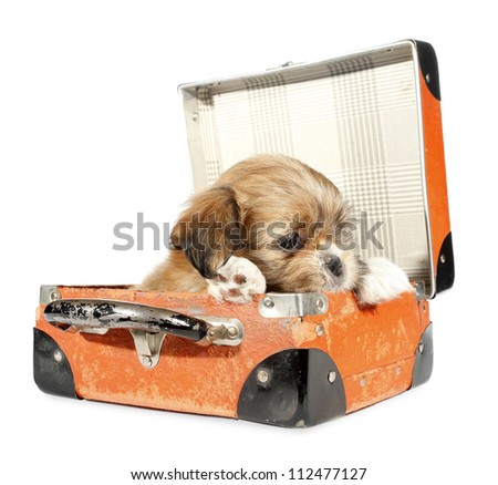 Pekingese puppy dog in suitcase