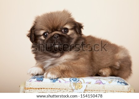 Pekingese puppy lying on padded basket lid on beige background