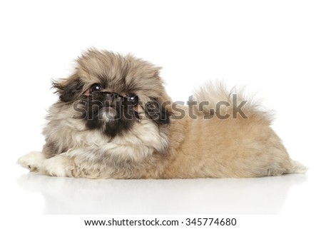 Pekingese puppy lying on white floor