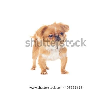Pekingese puppy standing on a white background isolated