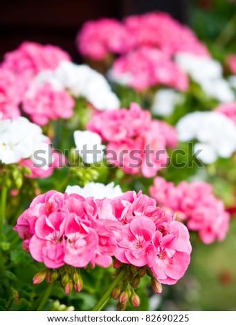 pelargonium flowers bouquet, natural background - stock photo