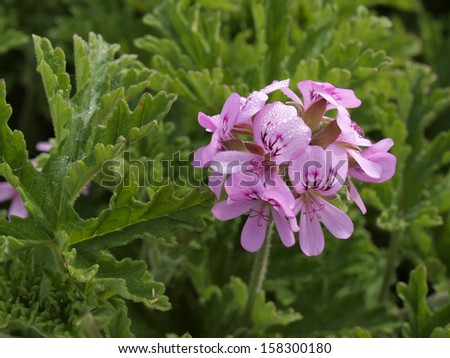 Pelargonium hybrid plant in summer, Germany - stock photo