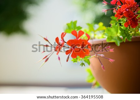 Pelargonium peltatum is a species of pelargonium known by the common names ivy-leaf geranium and cascading geranium. It is native to Africa. It is commonly grown as an ornamental plant. - stock photo