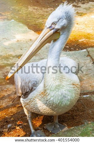 Pelican at sunset - stock photo