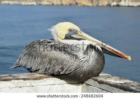 Pelican big beautiful bird with a large beak eats fish. - stock photo