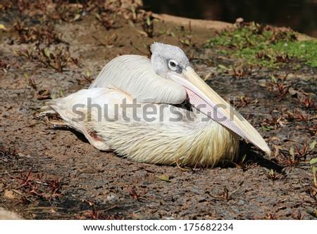 Pelican bird - stock photo