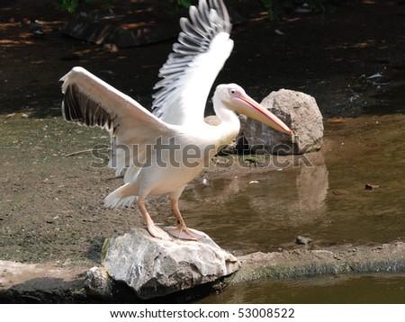 pelican bird on rock - stock photo