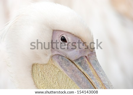 Pelican close up  - stock photo