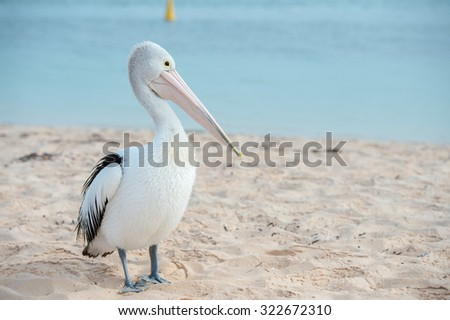Pelican close up portrait on the beach in Australia - stock photo